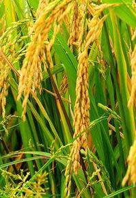 2015年河南省南阳市社旗县小麦对比试验